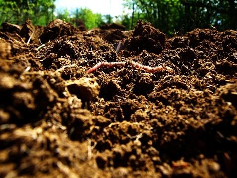 Earthworm in healthy soil