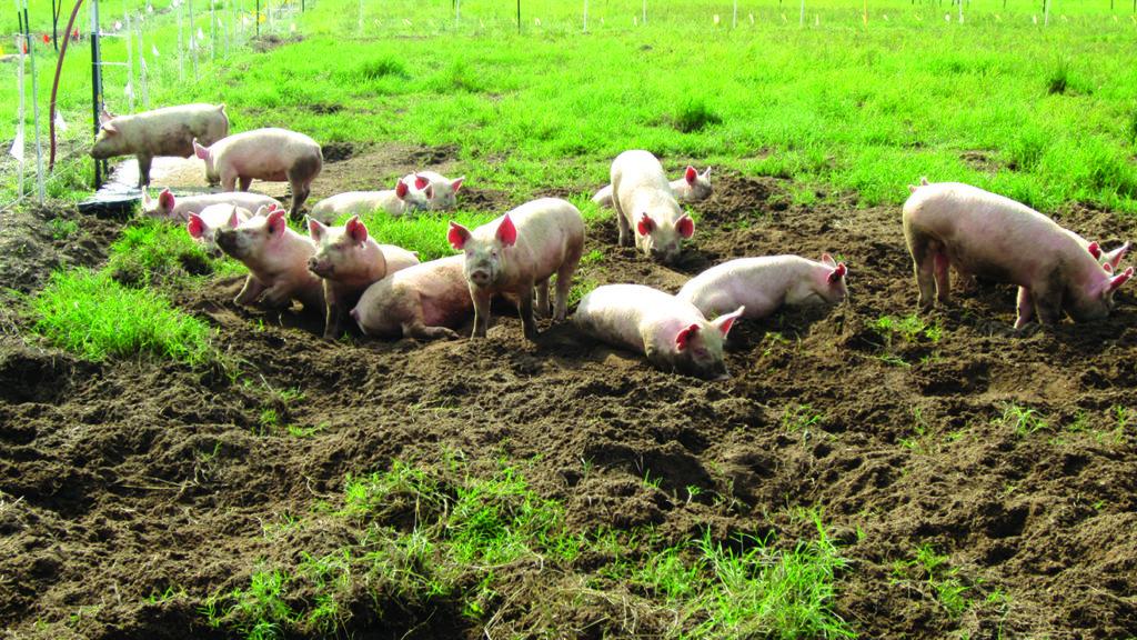 rooting pigs
