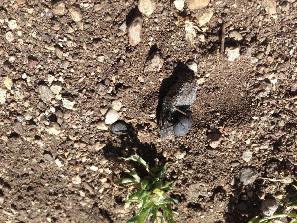 escarabajo de estiércol