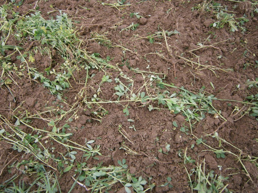 alfalfa in the dirt