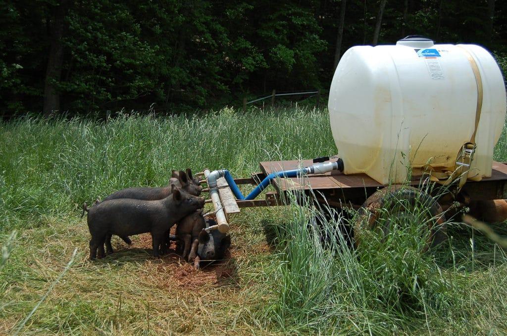 piglets drinking