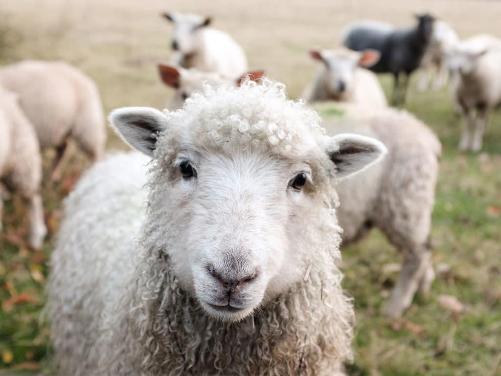 A sheep looks directly ahead