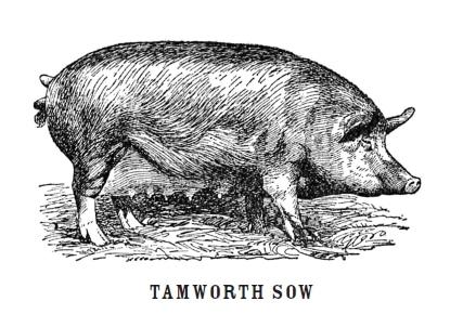 brown sow