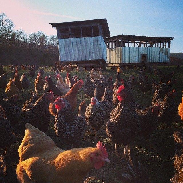 Chicken Breed Selection   EcoFarming Daily
