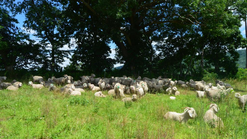 Angora goats grazing