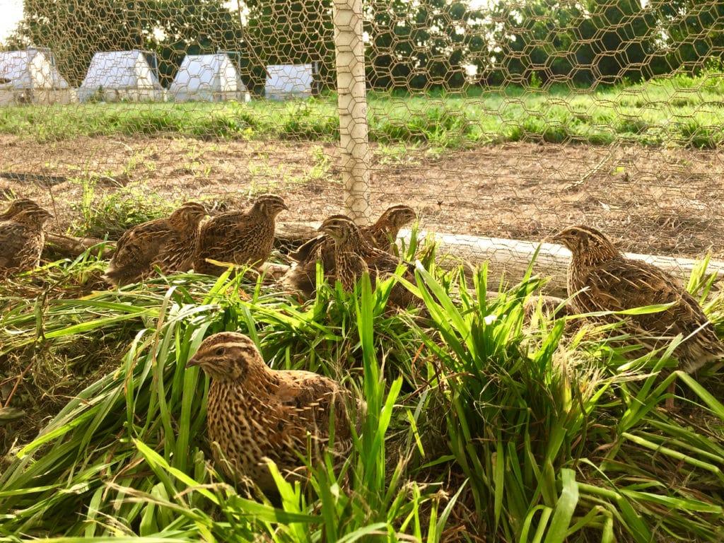 quail in pen