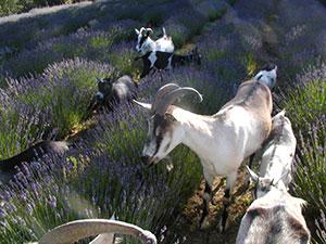 Goats weeding lavender