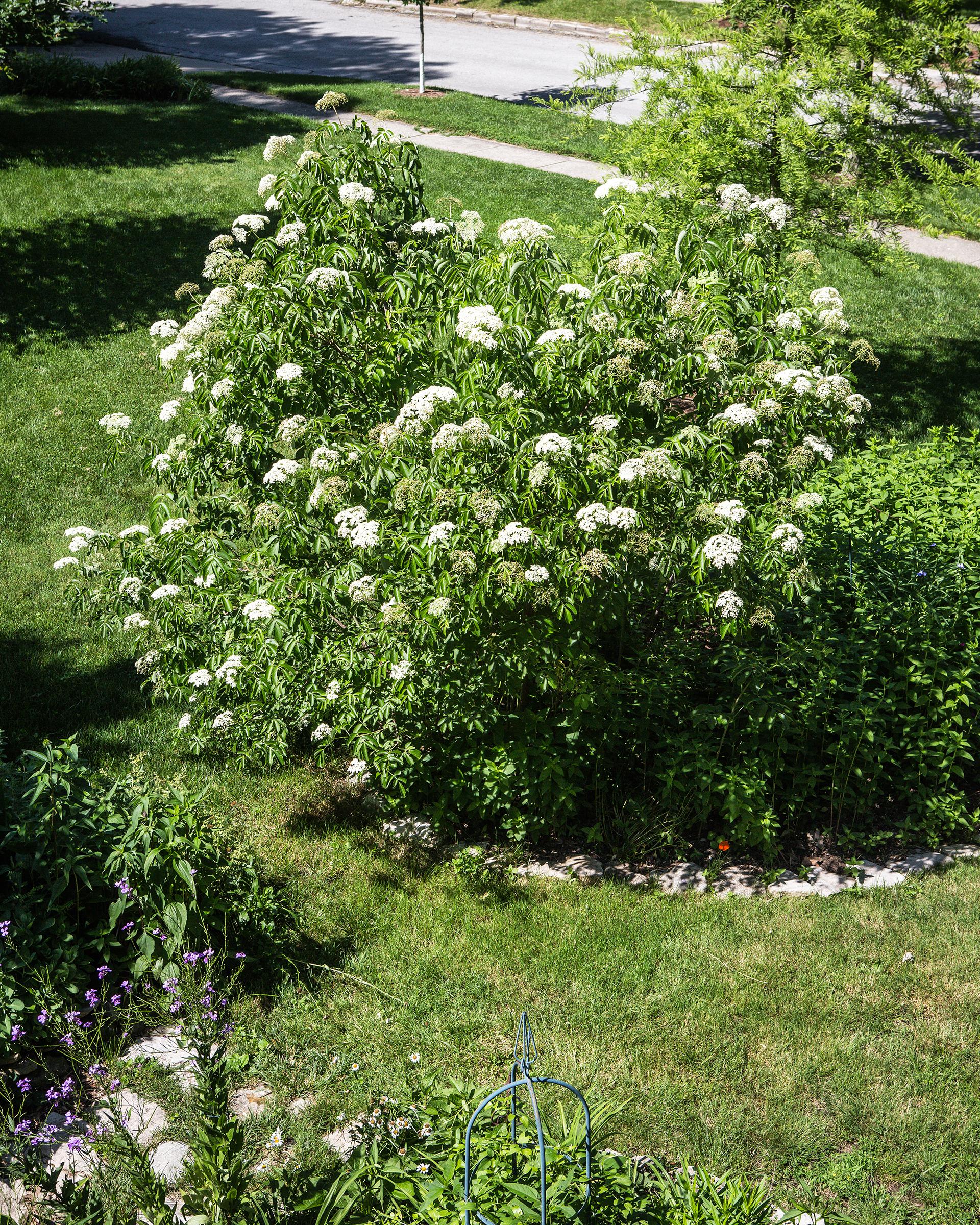 Edible Landscaping with Elderberry | EcoFarming Daily