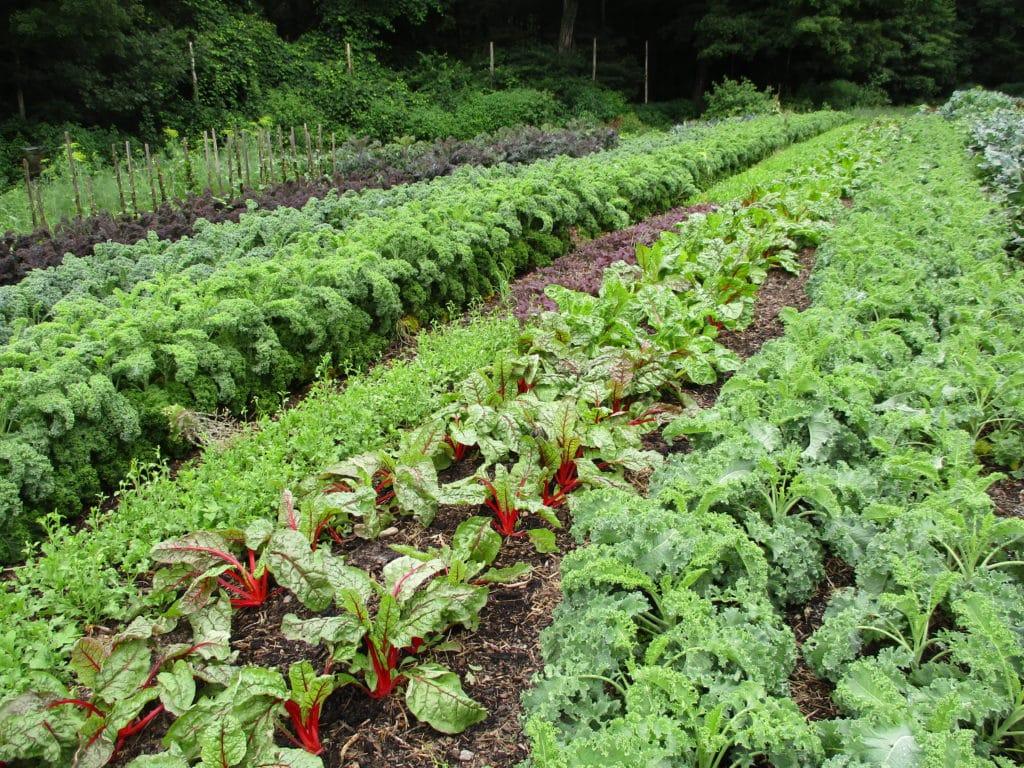 Vegetables growing in no-till garden.