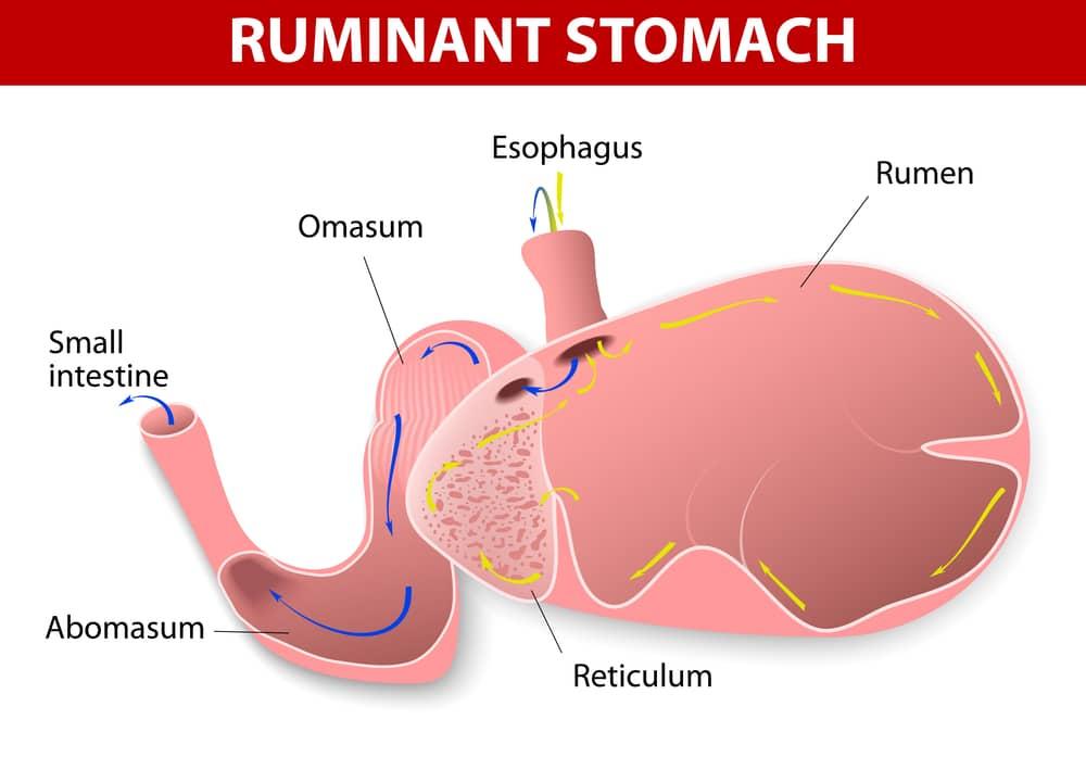 Rumen graphic