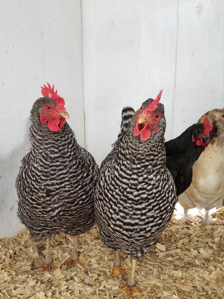 barred hens