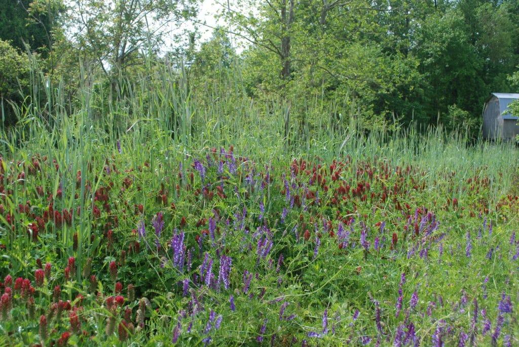 flowering cover crops