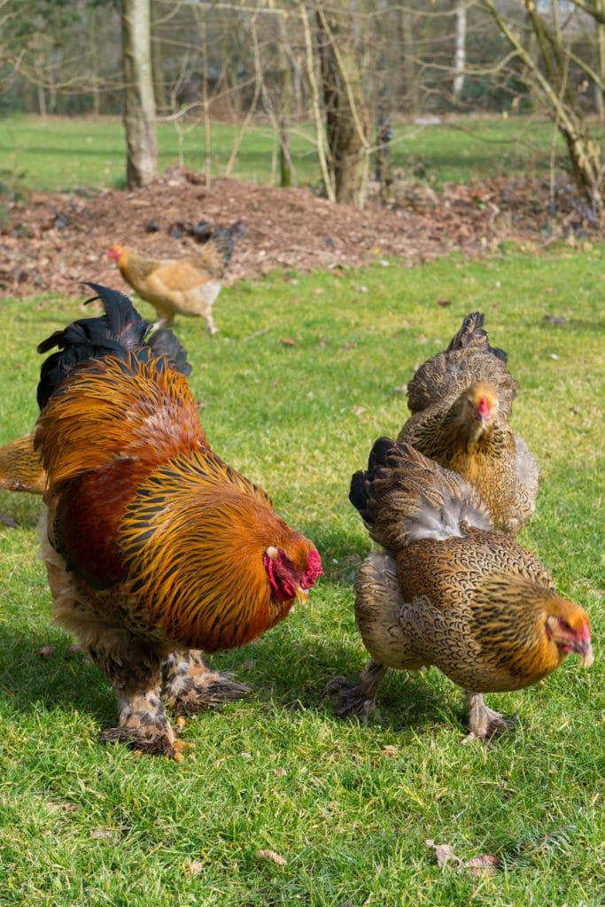 brahma chickens