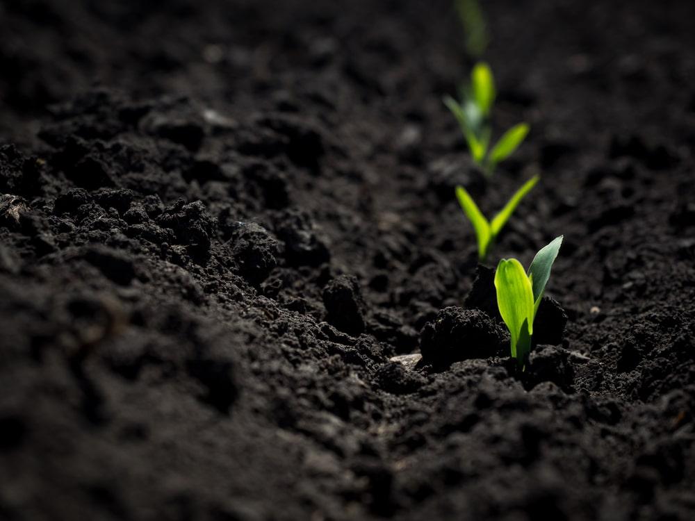 Plant shoots growing in black soil