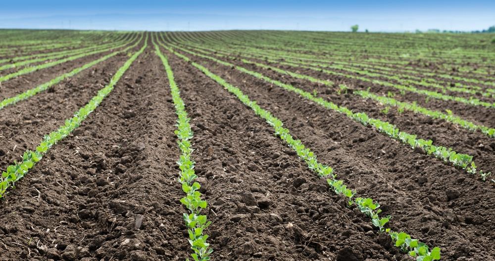soybean field spring